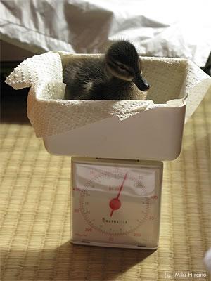 ヒヨちゃんが我が家で迎えた初めての朝、体重は25g!
