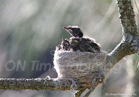 羽が生え始め、元気だった昨日(1/31)の雛たち。