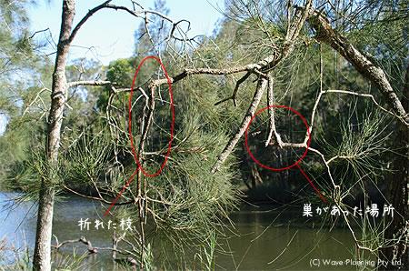 巣があった場所と折れた枝の状況。