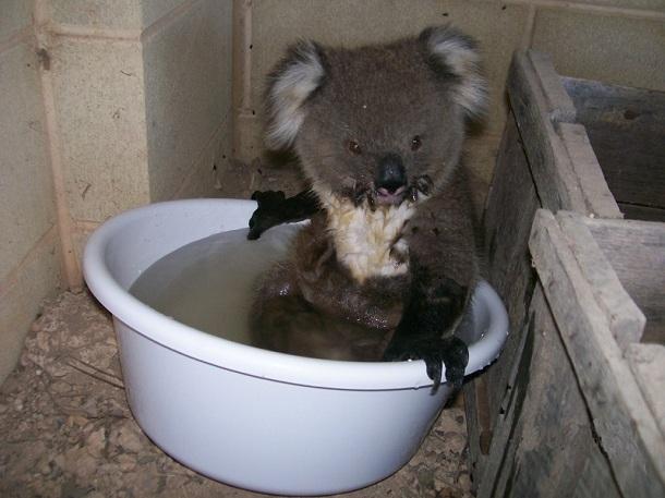 暑くて、水を飲んでいたコアラくん。たまらず水の中へドボン!