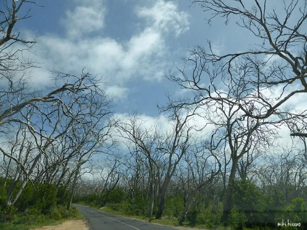 コアラに食べつくされ、立ち枯れた木々