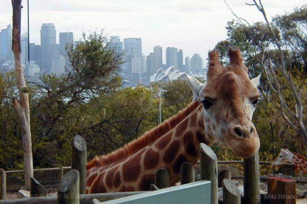 キリン越しにオペラハウスとシドニーの街が見られるタロンガ動物園