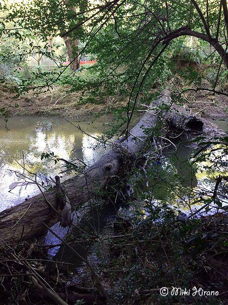 嵐で倒れて川の上に横たわった倒木