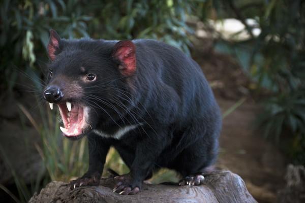 タスマニア州の動物「タスマニアデビル」