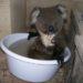コアラだって水を飲みたいっ!